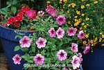 63821-18210 Petunias, Dianthus, Lemon Gem Signet Marigolds in blue pots on deck, Marion Co  IL