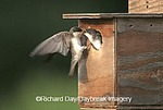 01272-00718 Tree Swallow (Tachycineta bicolor) female flying to nestling at nest box, Marion Co.   IL