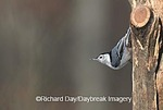 01310-00507 White-breasted Nuthatch (Sitta carolinensis) Marion Co.   IL