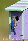 01377-14003 Eastern Bluebird (Sialia sialis) male on nest box, Marion Co. IL
