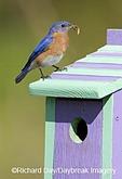 01377-14007 Eastern Bluebird (Sialia sialis) male on nest box, Marion Co. IL