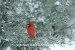 01530-08909 Northern Cardinal (Cardinalis cardinalis) male in juniper tree in winter, Marion Co.  IL