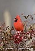 01530-16213 Northern Cardinal (Cardinalis cardinalis) male in Nandina Heavenly Bamboo (Nandina domestica)in winter, Marion Co. IL