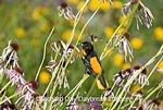01611-07411 Baltimore Oriole (Icterus galbula) male on Pale Purple Coneflower (Echinacea pallida)  Marion Co. IL