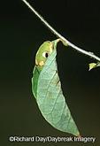 03029-01115  Spicebush Swallowtail (Papilio troilus) caterpillar in Spicebush (Benzoin aestivale) leaf tube  Marion Co.  IL