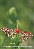 03305-00211 Gulf Fritillaries (Agraulis vanillae) on Turks Cap (Malvaviscus arboreus var. Drummondii) NABA Butterfly Park, Mission, TX