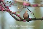 01081-01010 Mourning Dove (Zenaida macroura) in Eastern Redbud (Cercis canadensis) tree  Marion Co. IL