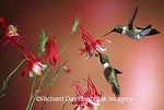 01162-07107 Ruby-throated Hummingbirds (Archilochus colubris) males on Crimson Star Columbine (Aquilegia x hybrida) IL