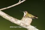 01162-11920 Ruby-throated Hummingbird (Archilochus colubris)  female brooding nestling, Marion Co. IL
