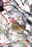01575-01519 Song Sparrow (Melospiza melodia) in Common Winterberry (Ilex verticillata) in winter, Marion Co. IL