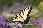 03023-02318 Eastern Tiger Swallowtail (Papilio glaucus) on  Brazilian Verbena (Verbena bonariensis) Marion Co.  IL