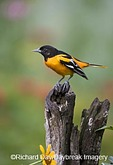 01611-08109 Baltimore Oriole (Icterus galbula) male on wooden fence in flower garden,  Marion Co. IL