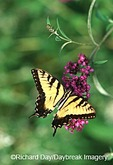 03023-00818  Eastern Tiger Swallowtail (Papilio glaucus) on Butterfly Bush (Buddleia davidii)  Marion Co., IL