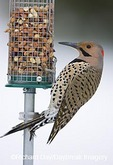 01193-01419 Northern Flicker (Colaptes auratus) male on peanut feeder, Marion Co. IL