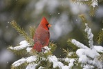 01530-19602 Northern Cardinal (Cardinalis cardinalis) male in spruce tree in winter, Marion Co. I