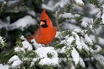 01530-19612 Northern Cardinal (Cardinalis cardinalis) male in Balsam fir tree in winter, Marion Co. IL
