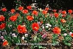 65021-02019 Tulips & pansies  MO Botanical Gardens, St. Louis   MO