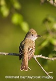 01240-00607 Great Crested Flycatcher (Myiarchus crinitus) in tree, Marion Co. IL