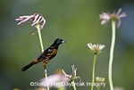 01618-00918 Orchard Oriole (Icterus spurius) male on Pale Purple Coneflower (Echinacea pallida) in flower garden Marion Co. IL