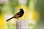 01618-01003 Orchard Oriole (Icterus spurius) male on fence post in flower garden Marion Co. IL