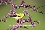 01640-15708 American Goldfinch (Carduelis tristis) male in Eastern Redbud (Cercis canadensis) tree Marion Co. IL