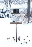 00585-03005  Blue Jay on tray feeder & Northern Cardinals & House Sparrows feeding on ground in winter Marion Co.   IL