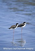00904-00215 Black-necked Stilts (Himantopus mexicanus) in bay South Padre Island TX