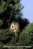 01116-03611 Great Horned Owl (Bubo virginianus) in pine tree    CO