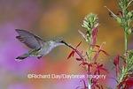 01162-10717 Ruby-throated Hummingbird (Archilochus colubris) on Cardinal Flower (Lobelia cardinalis)  Marion Co. IL