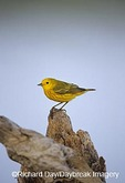 01482-00107 Yellow Warbler (Dendroica petechia) Starr Co.  TX