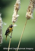 01611-06314 Baltimore Oriole (Icterus galbula) female on cattails gathering nesting material  Marion Co.  IL