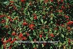 63808-02406 Common Winterberry bush (Ilex verticillata) with berries  Marion Co.   IL