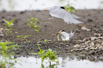 01013-00405 Least Terns (Sterna antillarum) male feeding female at nest in flooded field, Alexander Co.  IL