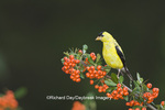 01640-15716 American Goldfinch (Carduelis tristis) male on Scarlet Firethorn (Pyracantha coccinea) berries, Marion Co.  IL