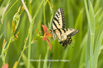03023-02520 Eastern Tiger Swallowtail (Papilio glaucus) on Blackberry Lily (Belamcanda chinensis)   Marion Co.  IL