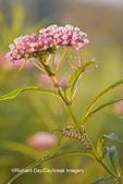 03536-04718 Monarch (Danaus plexippus) caterpillar on Swamp Milkweed (Asclepias incarnata) Marion Co. IL