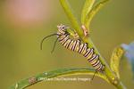 03536-04805 Monarch (Danaus plexippus) caterpillar on Swamp Milkweed (Asclepias incarnata) Marion Co. IL