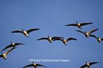 00748-05404 Canada geese (Branta canadensis) in flight, Riverlands Migratory Bird Sanctuary, MO