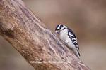 01206-03309 Downy Woodpecker (Picoides pubescens) male, Marion Co.  IL