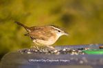 01323-00901 Carolina Wren (Thryothorus ludovicianus) at tray bird feeder, Marion Co.  IL