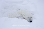 01874-11511 Polar Bear (Ursus maritimus) sleeping Churchill Wildlife Management Area MB