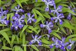 66799-00102 Crested Dwarf Iris (Iris cristata) Tremont Area, Great Smoky Mountains National Park TN