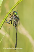 06544-00111 Hine's Emerald dragonfly (Somatochlora hineana) male in fen, Federally Endangered Species Reynolds Co,  MO