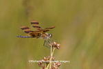 06579-00507 Halloween Pennant dragonfly (Celithemis eponina) male  DuPage Co. IL