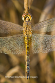 06644-00206 Wandering Glider dragonfly (Pantala flavescens) in early morning dew, Marion Co. IL
