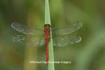 06663-00104 Ruby Meadowhawk dragonfly (Sympetrum rubicundulum) male, Jo Daviess Co.  IL