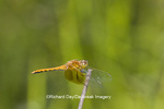 06664-00102 Band-winged Meadowhawk dragonfly (Sympetrum semicinctum) female, DuPage Co.  IL