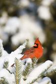 01530-20116 Northern Cardinal (Cardinalis cardinalis) male in fir tree in winter, Marion Co., IL