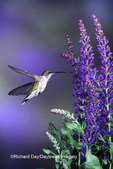 01162-08511 Ruby-throated Hummingbird (Archilochus colubris) female at 'Lubeca' Meadow Sage Salvia (Salvia nemorosa)   IL