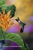 01162-110.13 Ruby-throated Hummingbird (Archilochus colubris) male on Mexican Honeysuckle (Justicia spicigera)  Marion Co. IL